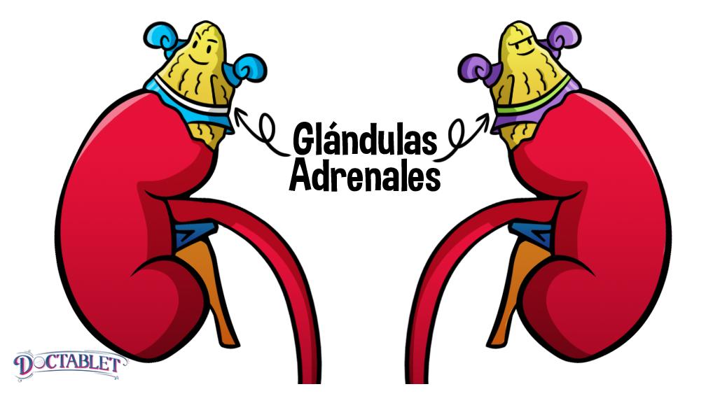 Glándulas suprarrenales, Hormonas suprarrenales - Doctablet®