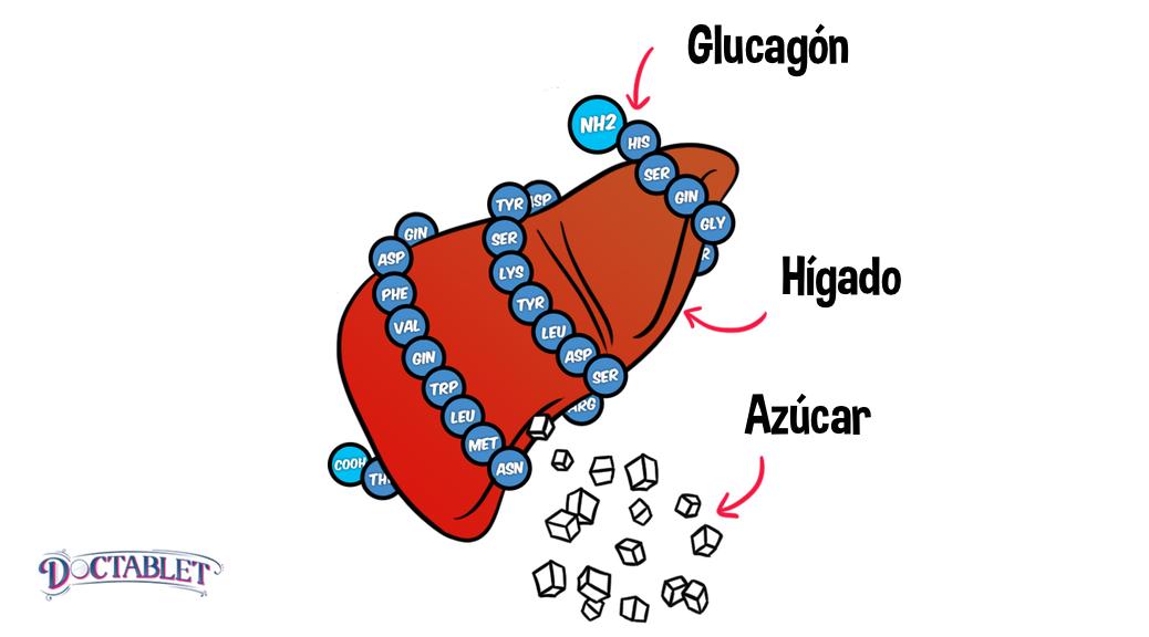 Glucagón Definición, Que hace el glucagón - Doctablet®